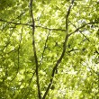 Tree leaves with sun streaming through — Foto Stock