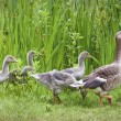 Stock Photo: Mother goose leading goslings in the wild