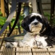 Dog laying on decking in the sun - Stock Photo