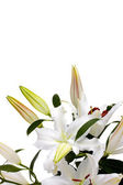 White lilies with copy space — Stock Photo