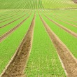 Farmland furrows with new planting in perspective - Stock Photo
