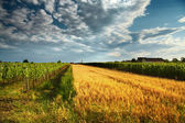 Wine field — Stock Photo
