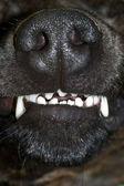Bared teeth — Stock Photo
