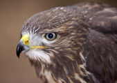 Buzzard - detail of the head — Stock Photo