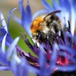 Stock Photo: Bumble bee in bloom