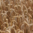 Stock Photo: Ripe wheat