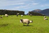 Pecore e montoni di connemara — Foto Stock