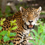 Jaguar in wildlife — Stock Photo #6308513