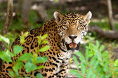 Jaguar in wildlife — Stock Photo