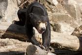 Malayan Sun Bear — Stock Photo