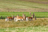 Herd of fallow deer — Stock Photo