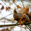Red squirrel in the autumn park — Stok fotoğraf