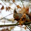 Red squirrel in the autumn park - Stock Photo