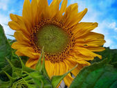 Beautiful sunflower with green leaves — Stock Photo
