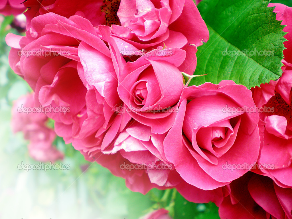 Close-up of beautiful red roses  on white background   Stockfoto #6106234