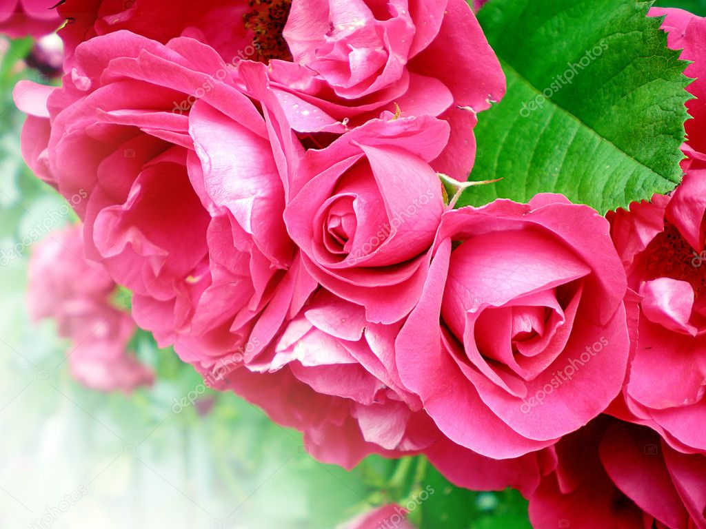 Close-up of beautiful red roses  on white background   Foto de Stock   #6106234