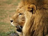 Lion Löwe León — Stok fotoğraf