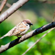 Sparrow on the branch — Stock Photo