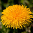 Stock Photo: Big yellow dandelion