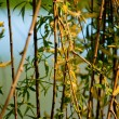 Willow branches with flowers — Stock Photo