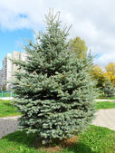 Blue spruce in the city. Cityscape — Stock Photo