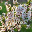 Flowering cherry twig in backlit — Stock Photo
