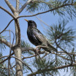 Stock Photo: Starling on pine tree on background of blue sky