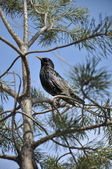 Starling on a pine tree on a background of blue sky — Stock Photo