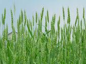 Green wheaten field. Grain harvest — Stock Photo