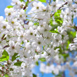 Flowering cherry twig in spring — Stock Photo
