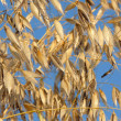 Stock Photo: Oats against cloudless blue sky
