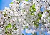 Kiraz dal baharda çiçeklenme — Stok fotoğraf