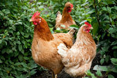Poultry in the poultry yard — Stock Photo