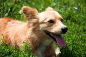 Portrait of a red dog on the lawn — Stock Photo