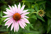Echinacea - a medicinal plant, traditional medicine — Stock Photo