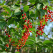 Sprig of ripe red wild cherry - Stock Photo