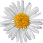 Vector chamomile flower isolated — Stock Vector