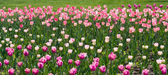 White, pink and purple tulips — Stock Photo