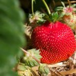 Fresh ripe red strawberry in straw in the field, selective focus — Stok fotoğraf