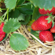 Foto Stock: Fresh ripe red strawberry in straw in field, selective focus