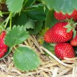 Fresh ripe red strawberry in straw in the field, selective focus — Foto Stock