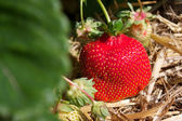 Fresh ripe red strawberry in straw in the field, selective focus — Stockfoto