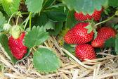 Verse rijpe rode aardbei in stro in het veld, selectieve scherpstellen — Stockfoto