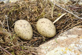 Sea gull nest — Stock Photo