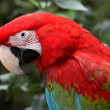 Stock Photo: Green-Winged Macaw Parrot