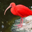 Stock Photo: Scarlet Ibis Bird