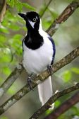 White Tailed Jay Bird — Stock Photo