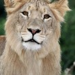 Lion with Beautiful Eyes — Stock Photo #5432336