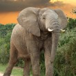 African Elephant at Sunset — Stock Photo #6047447