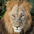 Stock Photo: Big Male Lion